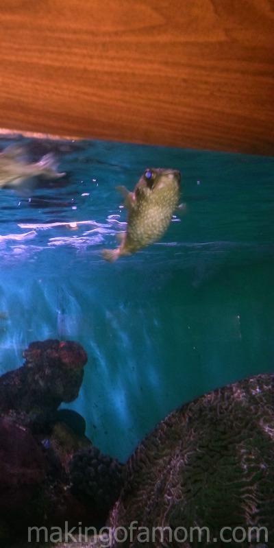 puffer-fish-Niagara-Aquarium