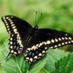 Update- A Caterpillar Named Parsley